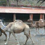 Ohne Tourismus und Staatshilfe – Kamele in Parks auf Gran canaria müssen leiden