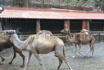 Ohne Tourismus und Staatshilfe - Kamele in Parks auf Gran canaria müssen leiden