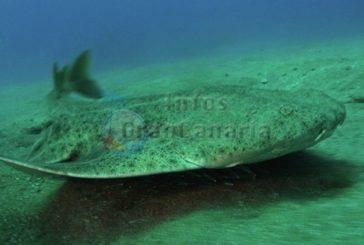 Der Meerengel (kanarischer Hai) steht kurz vor dem Aussterben durch Sportfischer