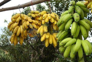 500 Kilo Bananen gestohlen, verhaftet!