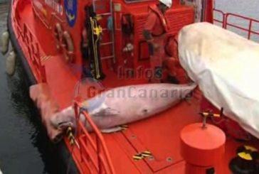 Toter Wal vor der Küste von Las Palmas geborgen