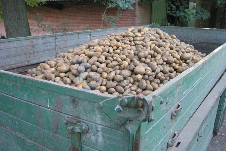 Kartoffeln Ernte Gran Canaria