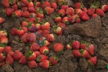 Erdbeerernte in Valsequillo könnte zu 50% verloren gehen