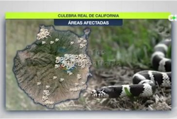 Schlangenplage: Kalifornische Königsnatter breitet sich bis in den Süden von Gran Canaria aus