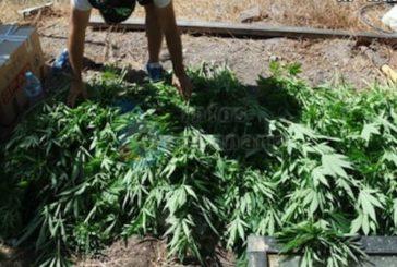 3 Festnahmen in Puerto Rico wegen Cannabis-Anbau