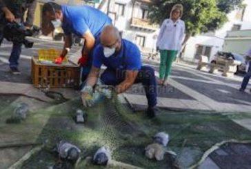 Etwa 12.000 Tauben wurden in Las Palmas bisher in diesem Jahr gefangen