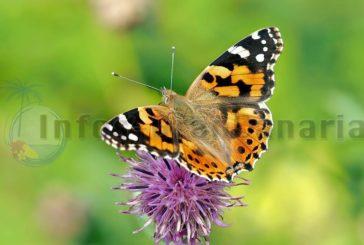 Invasion der Schmetterlinge auf Gran Canaria, Lanzarote & Fuerteventura