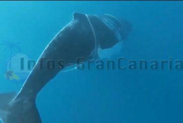 Buckelwal in Schiffsseilen verheddert - Rettungsaktion bisher nicht geglückt (inkl. Video)