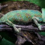 Warnung vor der invasiven Art der Jemen-Chamäleons auf Gran Canaria