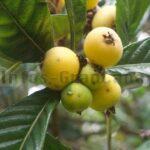 Níspero – Die kleine unbekannte Frucht auf Gran Canaria