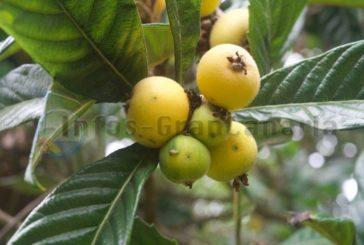 Níspero - Die kleine unbekannte Frucht auf Gran Canaria