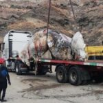 10 Tonnen Pottwal am Strand in Mogán tot geborgen