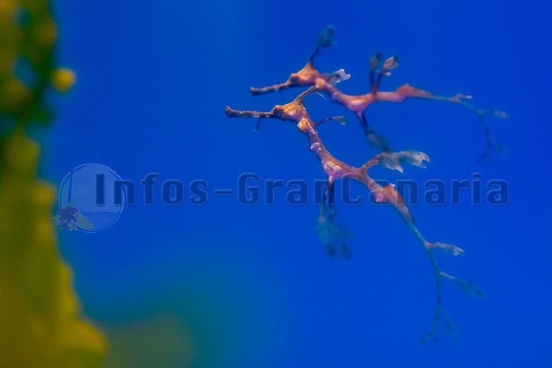 Sensationelle Geburt im Poema del Mar! Seedrachen erstmals in Europa gezüchtet