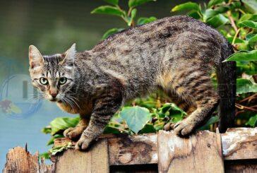 Könnten Katzen auf den Kanaren zu Jagdwild erklärt werden?