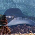 Stachel-Rochen im Natur-Pool von Playa La Laja gefangen