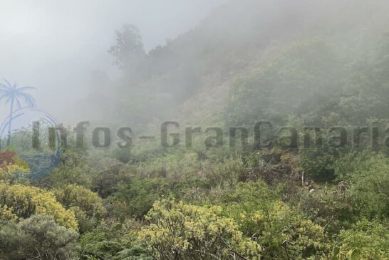 Grün und Gelb im Nebel (Tajinaste Azul)