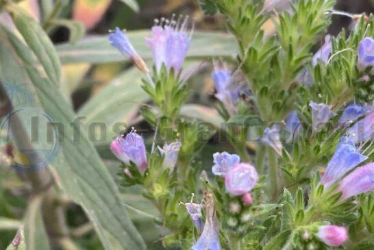 Tajinaste Azul - Pflanze