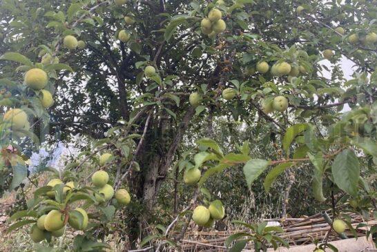 Äpfel Valsequillo (Tajinaste Azul)