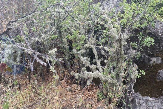 Moss an Bäumen (Tajinaste Azul)