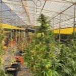 Marihuana-Plantage in Telde entdeckt – 3 Festnahmen