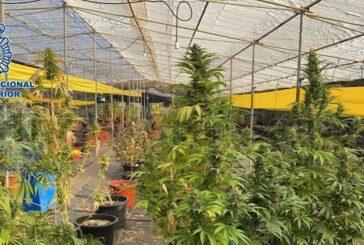 Marihuana-Plantage in Telde entdeckt - 3 Festnahmen