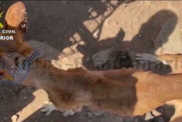3 Festnahmen wegen Tierquälerei in San Bartolomé de Tirajana
